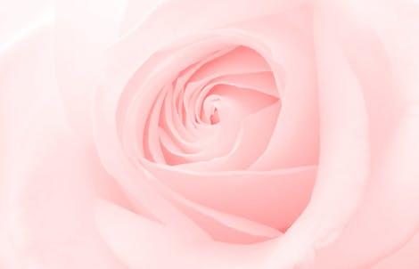 Close-up photograph of a rose representing grace & joy