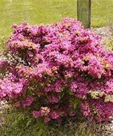Azalea Girard's Purple