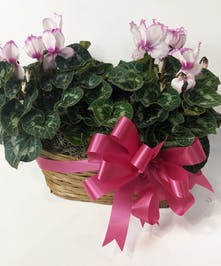 Basket with a flowering cyclamen plant.