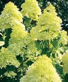 Hydrangea Limelight, Hardy