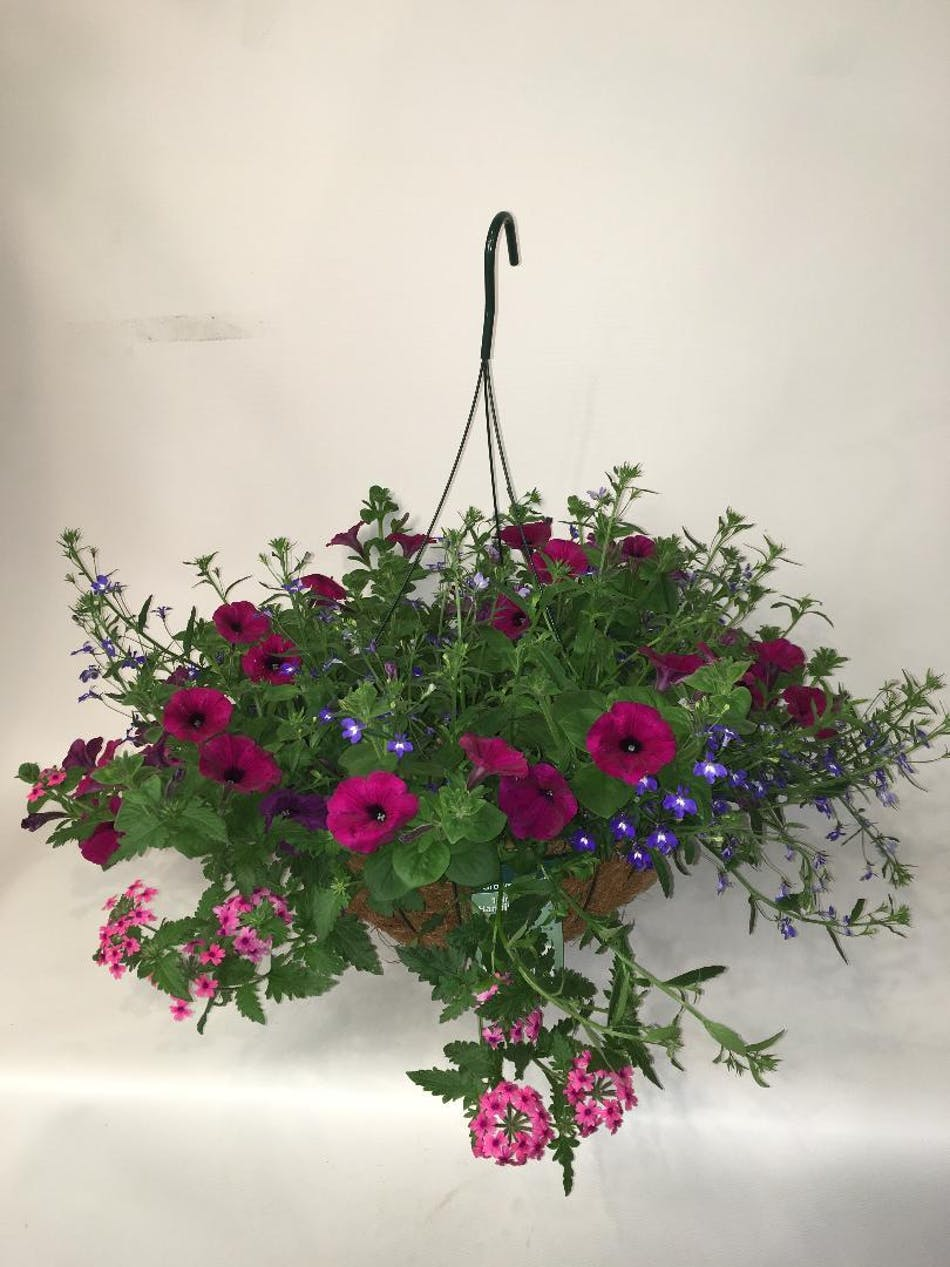 Night In Pompeii Hanging Basket Combo Stunning Mix Of Annuals