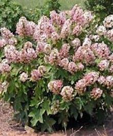 Hydrangea Oakleaf, Munchkin