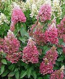 Hydrangea Pinky Winky, Hardy