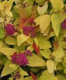 Spirea Double Play Candy Corn