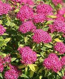 Spirea Double Play Painted Lady