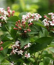 Abelia Sweet Emotion