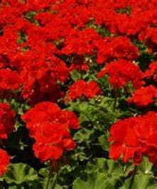 Cutting geraniums grown in our greenhouses