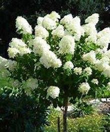 Hydrangea P. Limelight