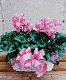 Breast Cancer Awareness Pink Double Cyclamen