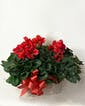 Triple Cyclamen Basket