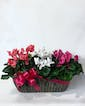 Triple Cyclamen in Nice Container